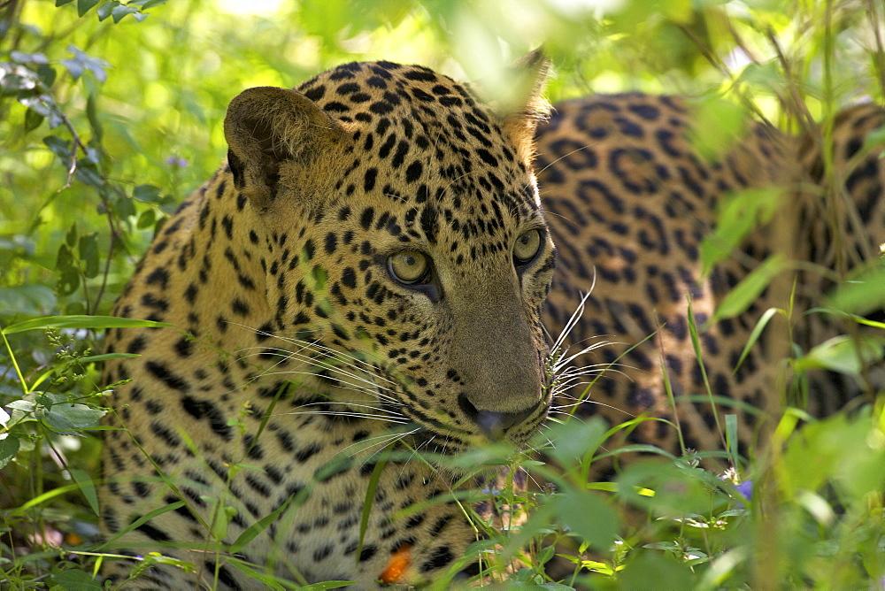 Leopard (panthera pardus) resting in thick undergrowth, Yala National Park, Sri Lanka, Asia