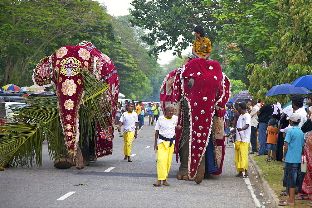 Captive Asiatic elephants (Elephas maximus maximus) preparing for the Navam Maha Perahera, Victoria Park, Colombo, Sri Lanka, Asia