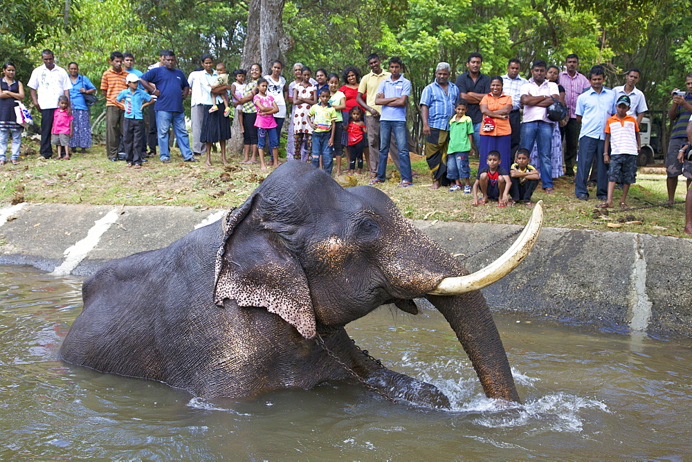 Captive Asiatic elephant (Elephas maximus maximus) in Colombo prior to the Perahera, Victoria Park, Colombo, Sri Lanka, Asia