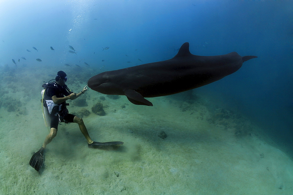 Scuba diver touching False Killer Whale (Pseudorca crassidens), Subic Bay, Luzon, Philippines, South China Sea, Pacific