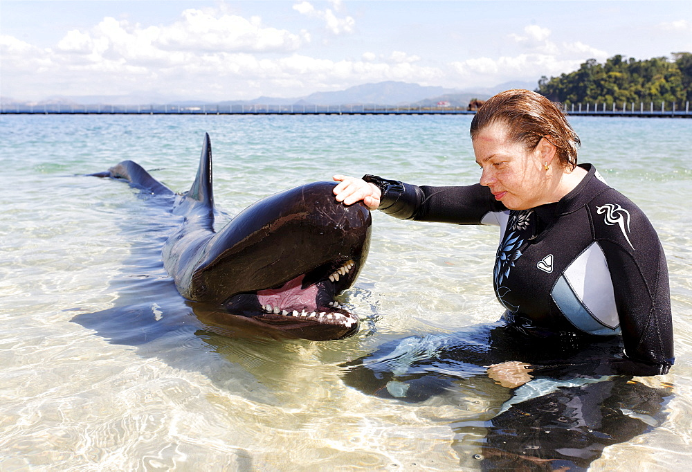 Woman stroking False Killer Whale (Pseudorca crassidens), shallow water, Ocean Adventures, Subic Bay, Luzon, Philippines, South China Sea, Pacific