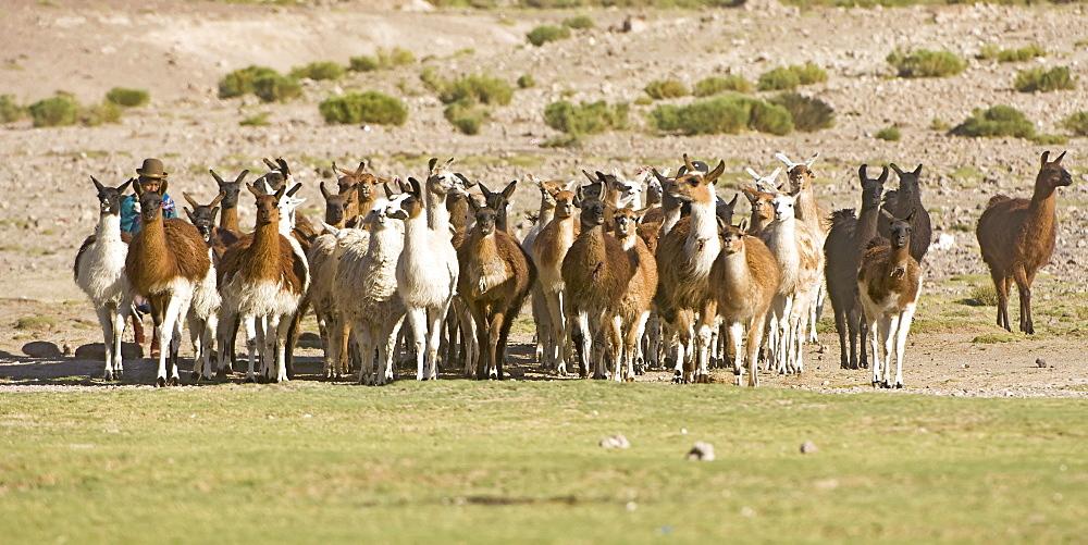 Bolivian woman herding llamas (Lama glama), San Juan, Potosi, Bolivia, South America