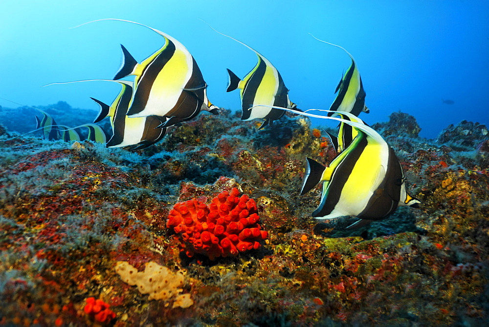Shoal of Moorish idols (Zanclus cornutus), swimming along a reef, Cocos Island, Central America, Pazific
