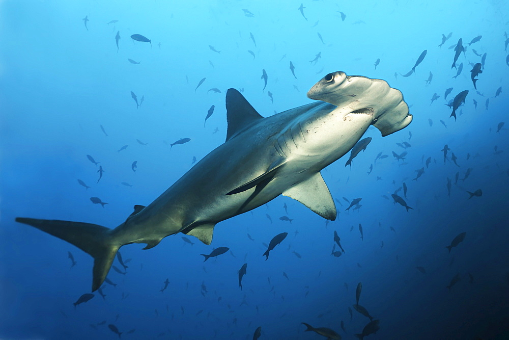 Scalloped Hammerhead Shark (Sphyrna lewini) swimming over a reef with fish, Cocos Island, Costa Rica, Middle America, Pacific Ocean