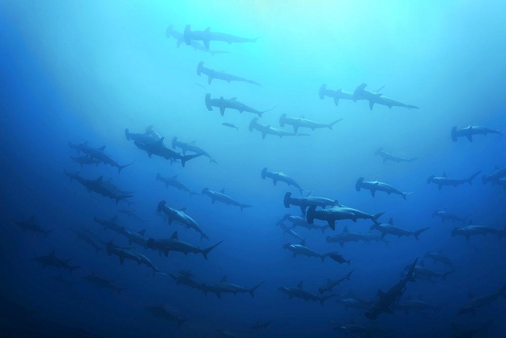 School of Scalloped Hammerhead Sharks (Sphyrna lewini) swimming in blue water, Cocos Island, Costa Rica, Middle America, Pacific Ocean