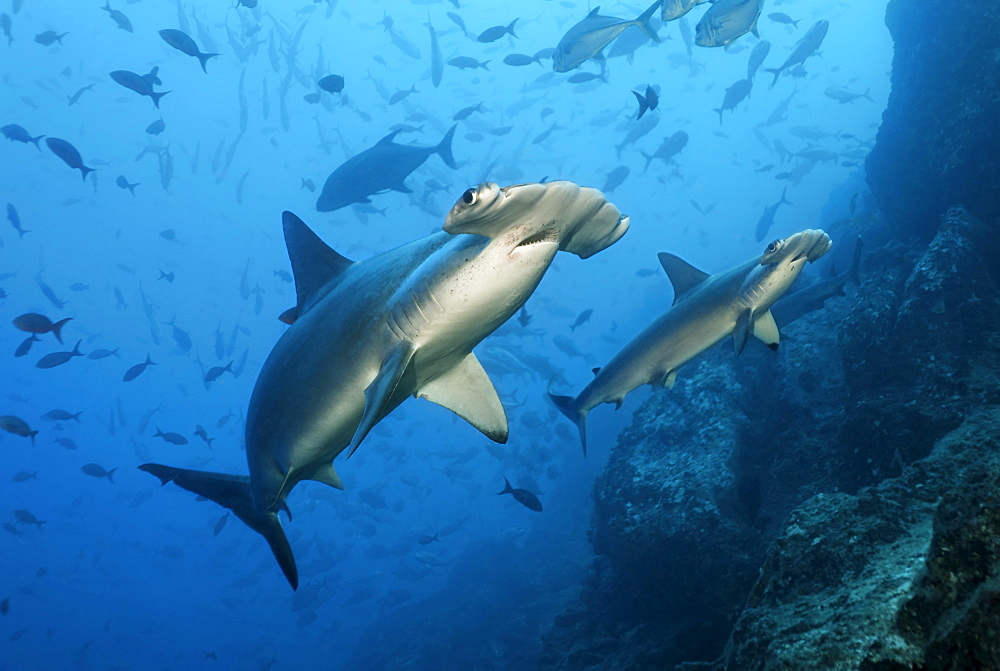 Two Scalloped Hammerhead Sharks (Sphyrna lewini) swimming over a reef with fish, Cocos Island, Costa Rica, Middle America, Pacific Ocean