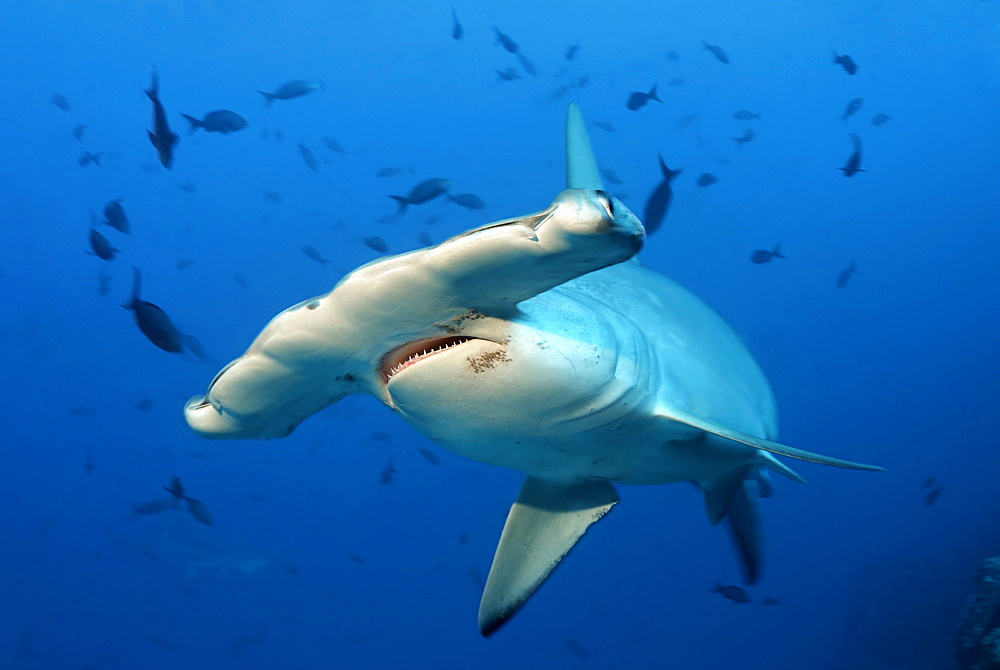 Scalloped Hammerhead Shark (Sphyrna lewini), head with mouth, teeth and eye, swimming in blue water, Cocos Island, Costa Rica, Middle America, Pacific Ocean