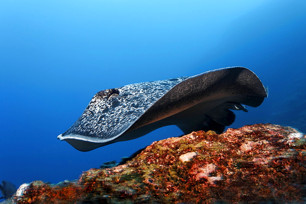 Blackspotted Sting ray (Taeniura meyeni), gliding over reef, Cocos Island, Costa Rica, Central America, Pacific