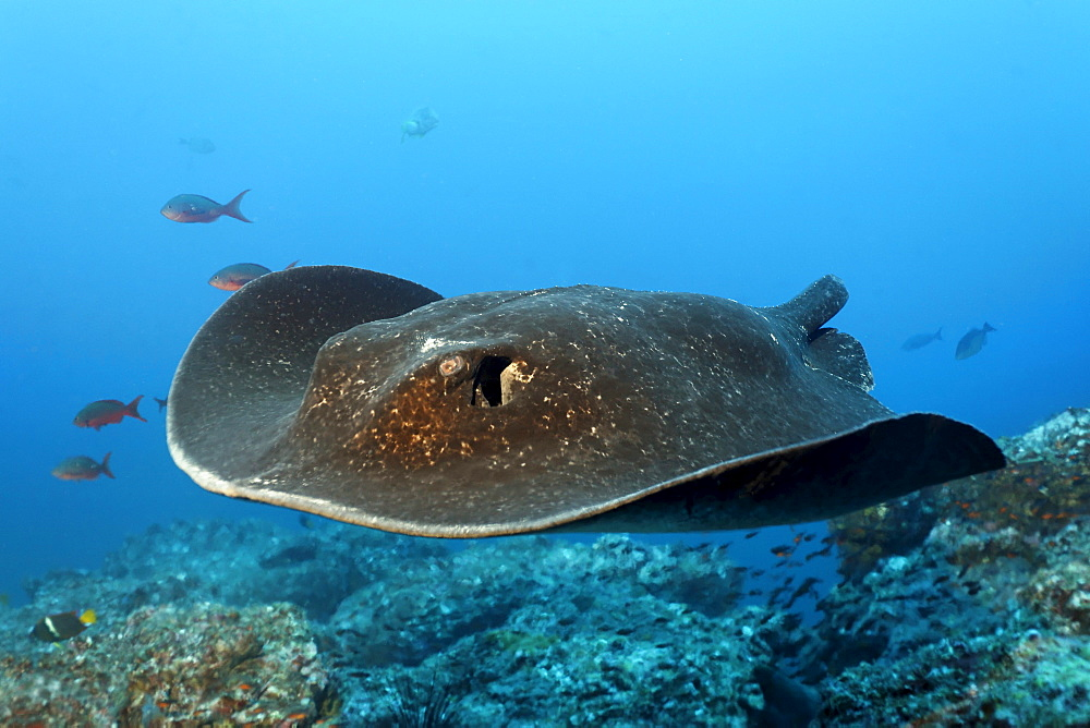 Blackspotted Sting ray, (Taeniura meyeni), tail bitten off by a shark, gliding over reef, Cocos Island, Costa Rica, Central America, Pacific