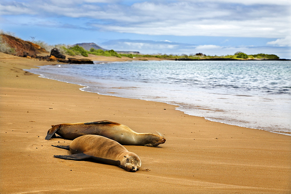 Two female Galapagos Sea Lions (Zalophus wollebaeki) on a sandy beach, Punta Cormorant, Floreana Island, Galapagos Archipelago, Ecuador, South America, Pacific Ocean