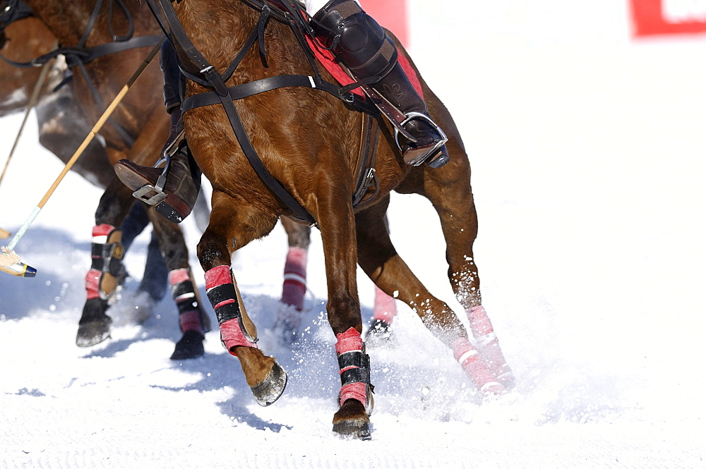 Polo horses galloping across the snow, Snow Arena Polo World Cup 2010 polo tournament, Kitzbuehel, Tyrol, Austria, Europe