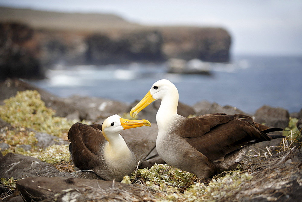 Waved Albatross (Phoebastria irrorata), couple greeting each other, Espanola, Hood Island, Galapagos archipelago, Unesco World Heritage Site, Ecuador, South America, Pacific