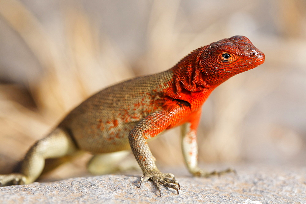 Red Lizard (Microlophus delanonis), female, lookout on small rock, Espanola, Hood Island, Galapagos archipelago, Unesco World Heritage Site, Ecuador, South America, Pacific - 832-10243