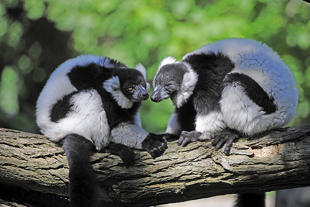 Black-and-white Ruffed Lemur (Varecia variegata), pair, being tender, Madagascar, Africa