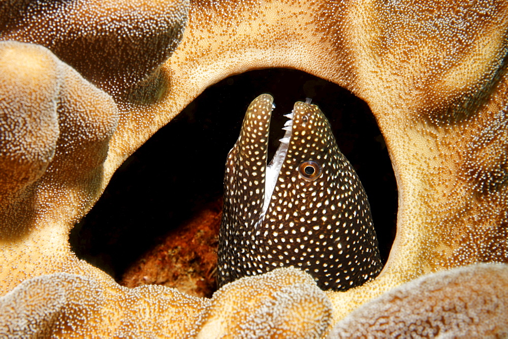 Whitemouth Moray (Gymnothorax meleagris) looking out of hole in Leather coral (Lobophytum sp.), Gangga Island, Bangka Islands, North Sulawesi, Indonesia, Molucca Sea, Pacific Ocean, Asia