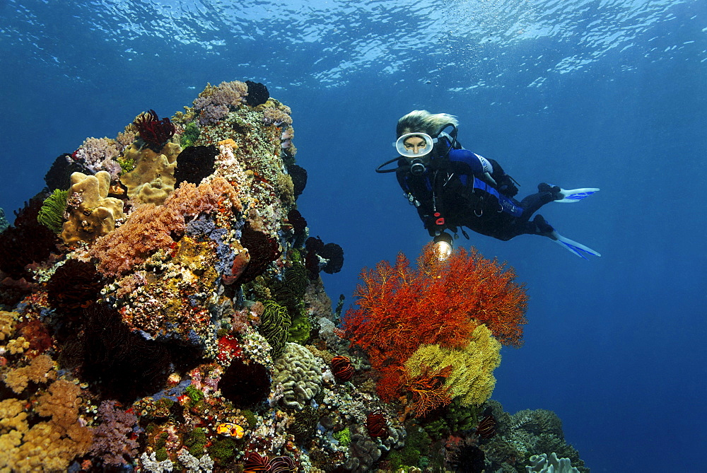 Diver watching Sea Fans (Gorgonaria) on coral reef, colorful overgrown with corals, Gangga Island, Bangka Islands, North Sulawesi, Indonesia, Molucca Sea, Pacific Ocean, Asia