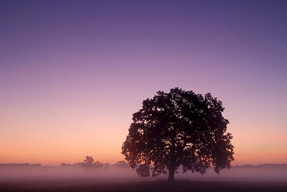Solitary oak tree at sunrise on the Elbe meadows, Biosphaerenreservat Mittlere Elbe biosphere reserve, Saxony-Anhalt, Germany, Europe