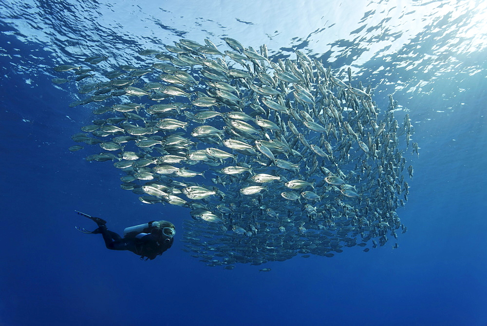 Female scuba diver watching a shoal of Five-Barr-Tail-Fishes (Kuhlia mugil) in open water, Hurghada, Brother Islands, Red Sea, Egypt, Africa
