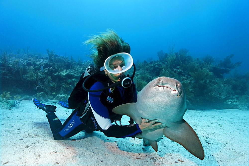 Scuba diver caressing the underside of a Nurse Shark (Ginglymostoma cirratum) in way that causes the shark to fall into a state of apathy, barrier reef, San Pedro, Ambergris Cay Island, Belize, Central America, Caribbean