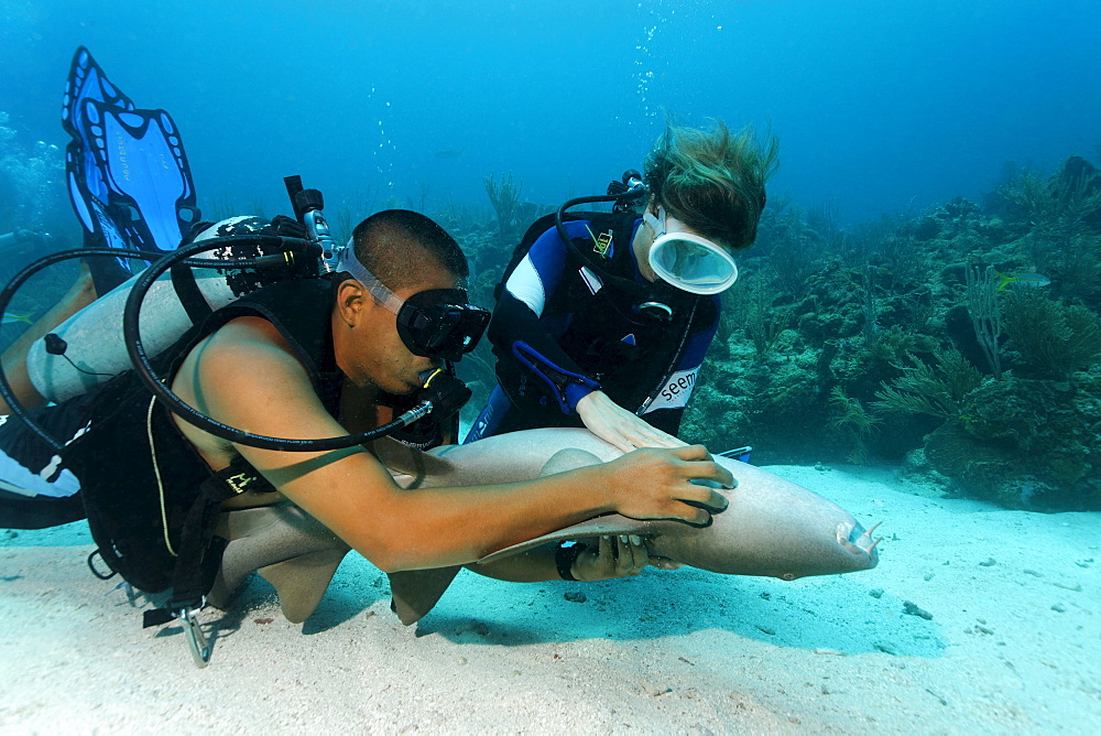 Scuba diver and her dive master caressing the underside of a Nurse Shark (Ginglymostoma cirratum) in way that causes the shark to fall into a state of apathy, barrier reef, San Pedro, Ambergris Cay Island, Belize, Central America, Caribbean