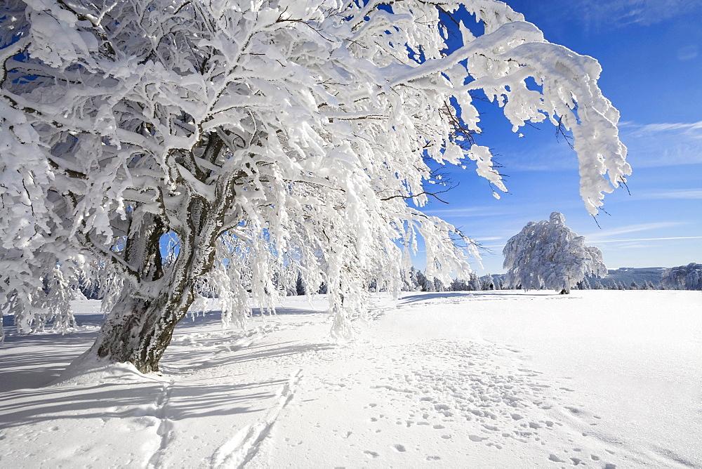 Snow-covered European beech trees (Fagus sylvatica), Schauinsland mountain, Black Forest, Baden-Wuerttemberg, Germany, Europe