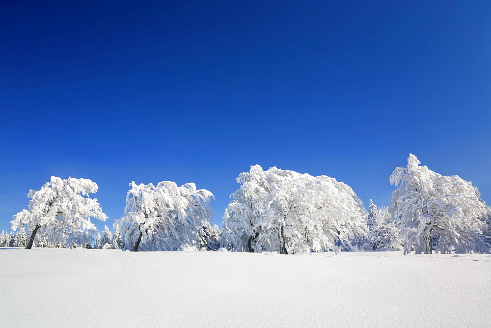 Beech (Fagus sylvatica) trees bent over with snow, Schauinsland mountain, Black Forest, Baden-Wuerttemberg, Germany, Europe