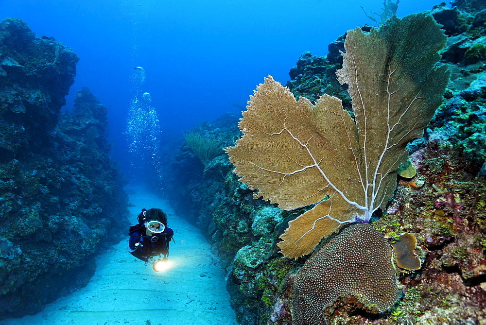 Scuba diver carrying a torch swims through a sandy bottomed channel between coral reefs and observes a Sea Fan coral (Gorgonia flabellum), barrier reef, San Pedro, Ambergris Cay Island, Belize, Central America, Caribbean