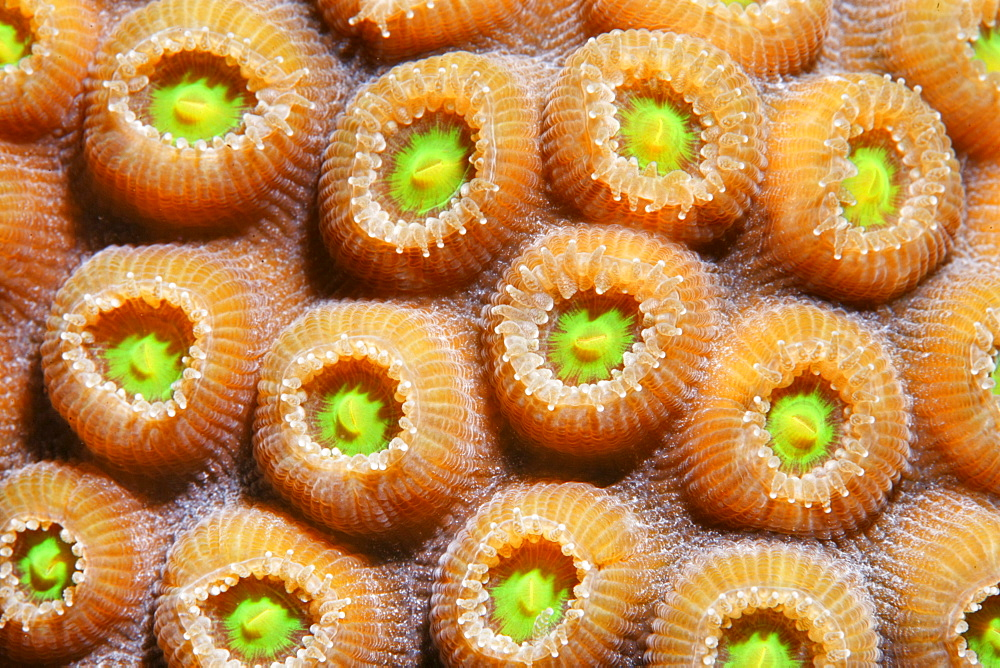 Graphic detail of a Favia Coral (Solanestrea sp.) with blossoming coral polyps, Barrier Reef, San Pedro, Ambergris Cay Island, Belize, Central America, Caribbean