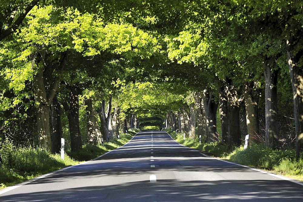 Deutsche Alleenstrasse avenue L29 between Kasnevitz and Garz, Ruegen island, Mecklenburg-Western Pomerania, Germany, Europe