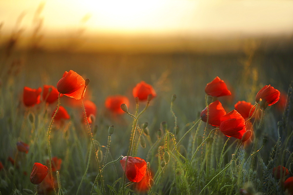 Corn Poppies (Papaver rhoeas) in the evening light, Germany, Europe