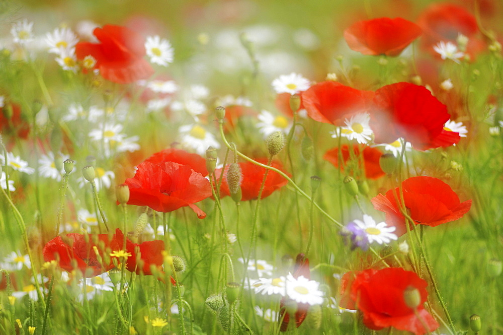 Detail of a summer meadow with Poppies (Papaver rhoeas) and Daisies (Leucanthemum vulgare), Germany, Europe