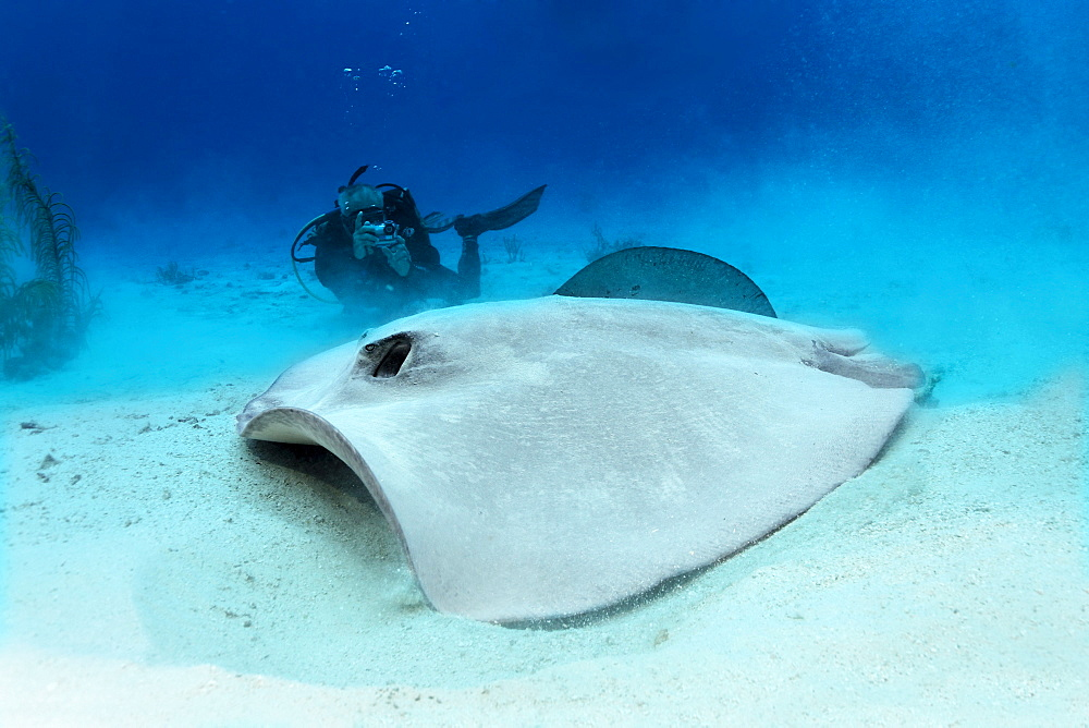 Diver taking a photo of a Roughtail Stingray (Dasyatis centroura) on a sandy seabed, Hopkins, Dangria, Belize, Central America, Caribbean