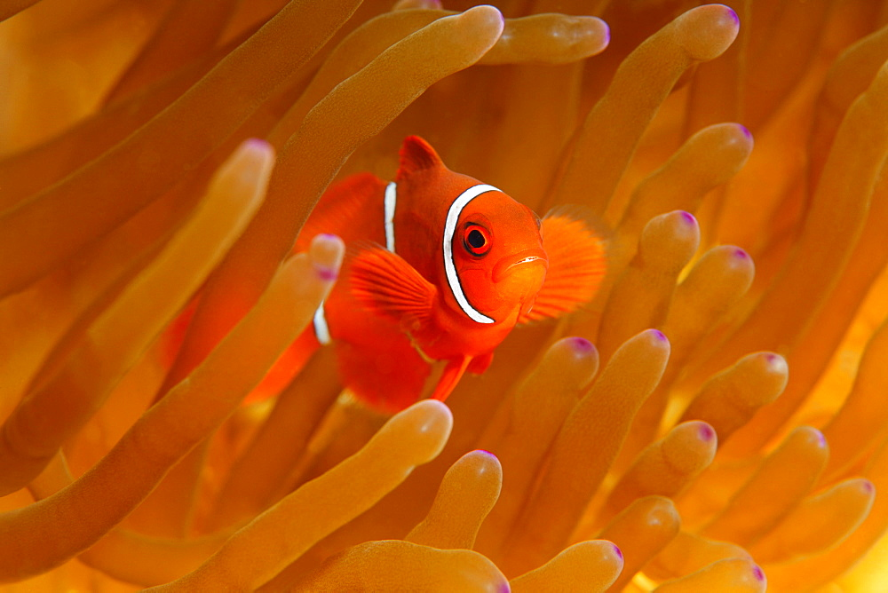 Young Maroon Clownfish (Premnas biaculeatus), Magnificent Sea Anemone or Ritteri Anemone (Heteractis magnifica), Selayar Island, West coast, South Sulawesi, Indonesia, Java Sea, Indian Ocean