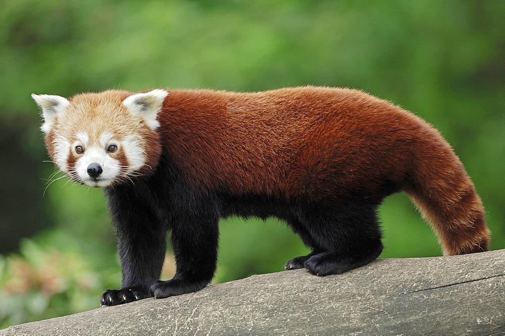 Lesser Panda, Red Panda (Ailurus fulgens) - 832-1054