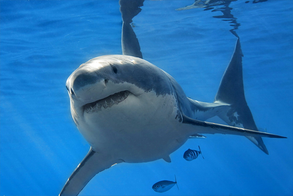 Great White Shark (Carcharodon carcharias), Guadalupe Island, Mexico, Pacific, North America