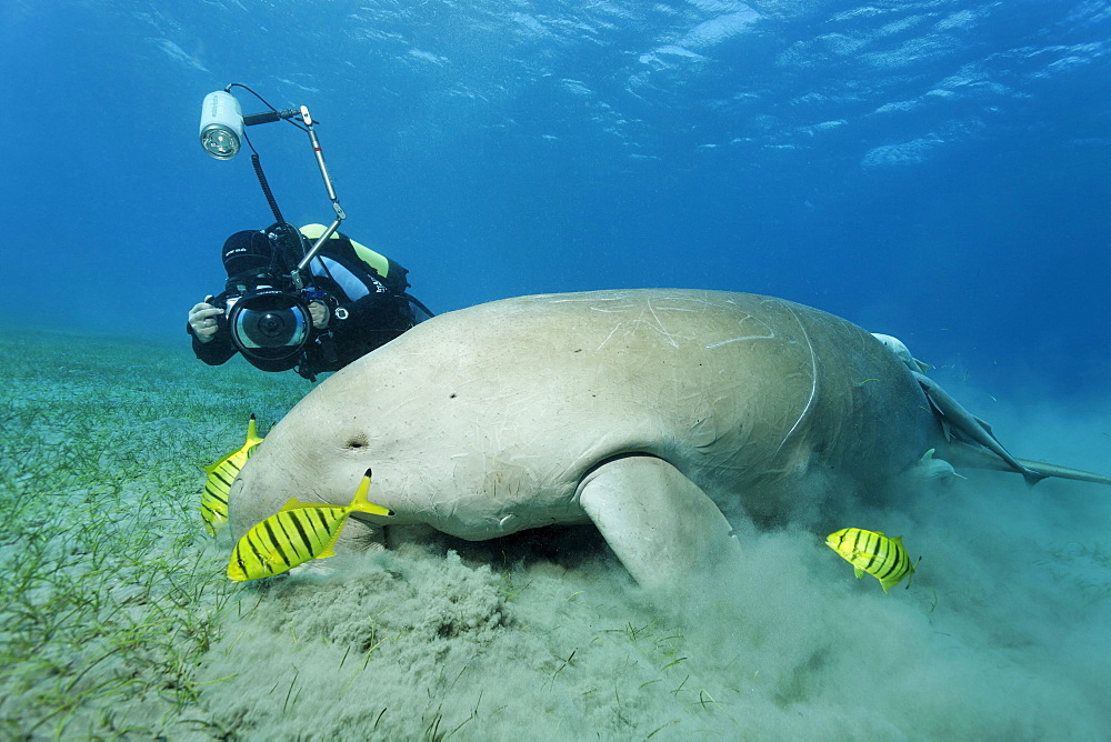 Dugong (Dugong dugon) and three Golden Trevally fish (Gnathanodon speciosus), Shaab Marsa Alam, Red Sea, Egypt, Africa