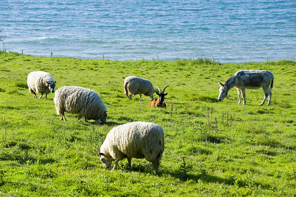 Sheep, goat and donkey in a field at the British Channel, Finistere, Brittany, France, Europe