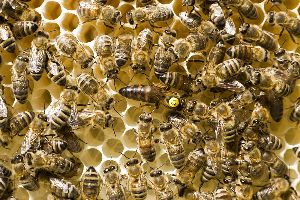 Bees (Apis melifera carnica) in a beehive, the queen is marked with a number