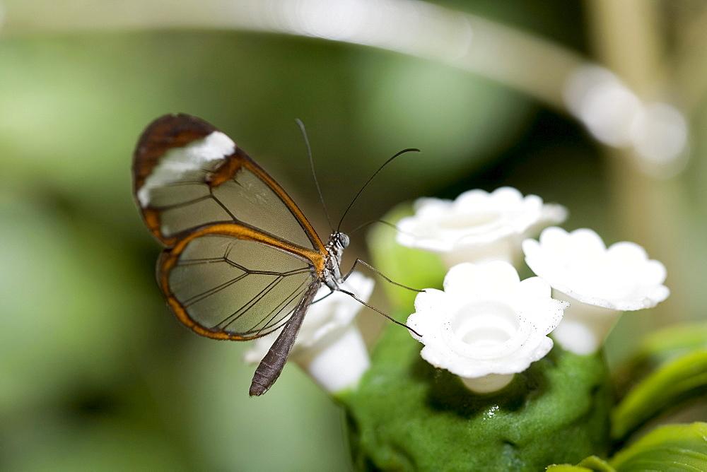 Glass Wing butterfly (Greta oto)
