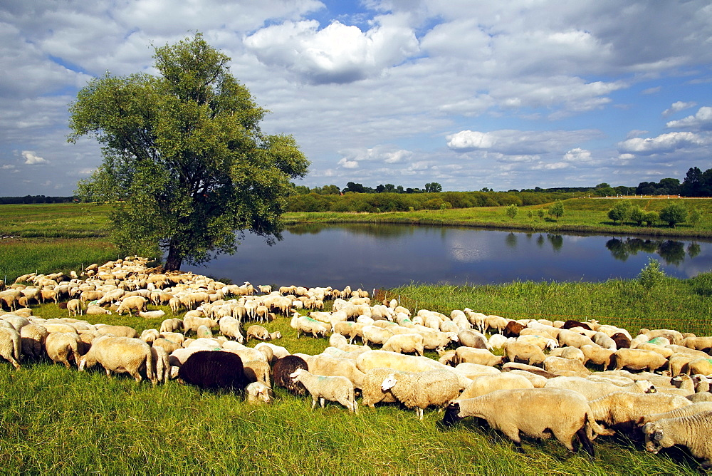 Flock of Domestic Sheep (Ovis ammon f. aries) grazing at a dyke, Mecklenburg Elbe Valley Nature Park, UNESCO Elbe River Landscape Biosphere Reserve, Mecklenburg-Western Pomerania, Germany, Europe