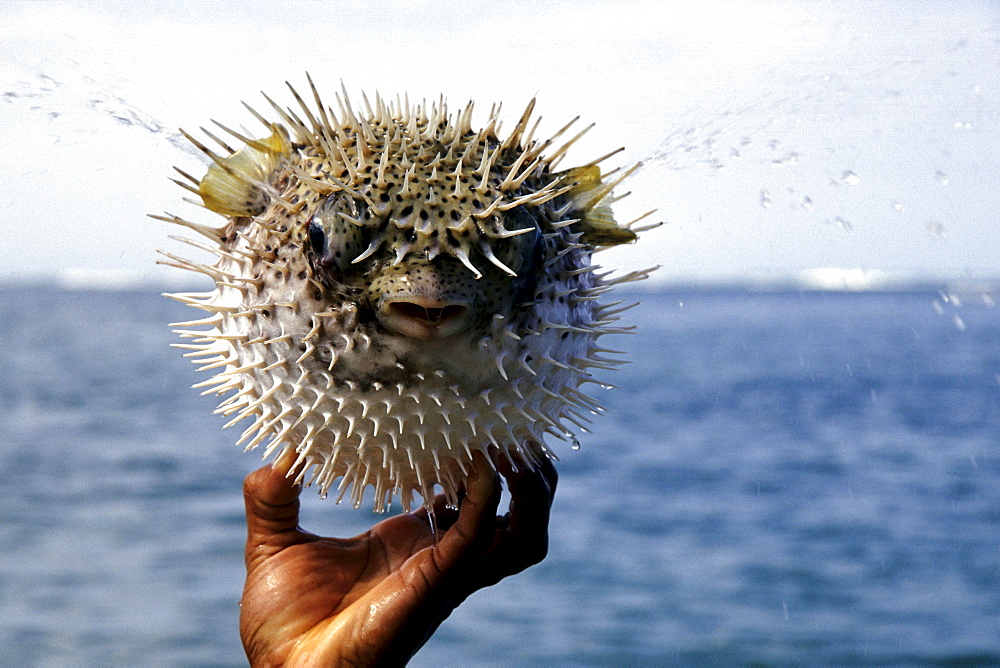 Hand holding a Blowfish (Tetraodontidae), national park, Parque Nacional Cahuita on the Caribbean coast, Caribbean, Costa Rica, Central America