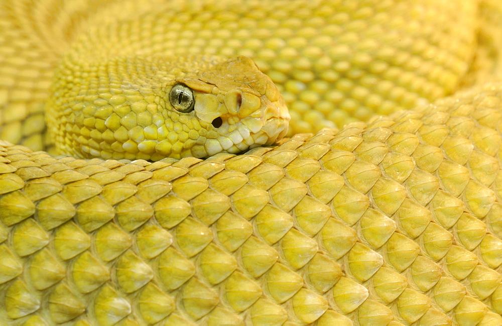 Mexican west coast rattlesnake (Crotalus basiliscus)