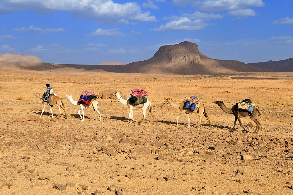 Group of camels, caravan, in the volcanic landscape of Hoggar, Ahaggar Mountains, Wilaya Tamanrasset, Algeria, Sahara, North Africa