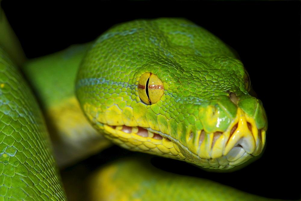 Python (Chondropython viridis, also Morelia viridis)