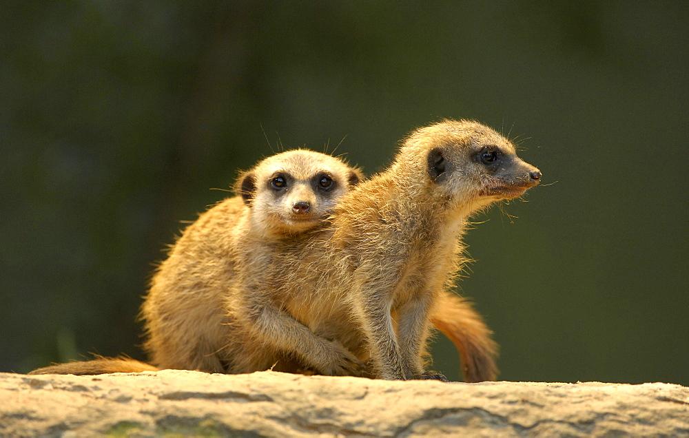young meerkats (Suricata suricatta)
