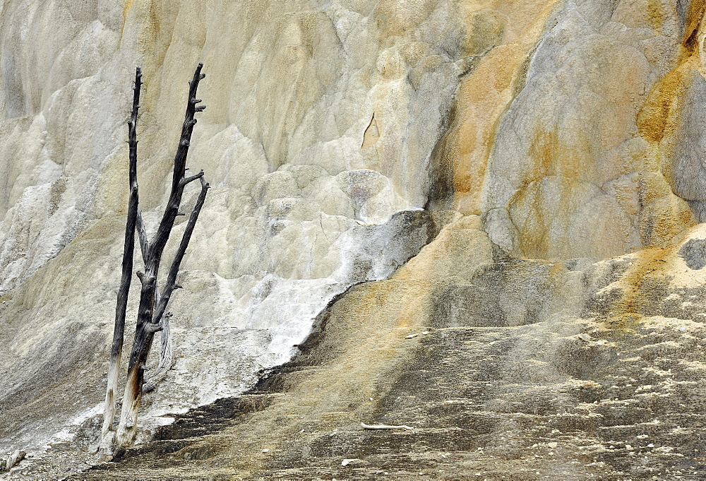 Orange Mound Terrace, Upper Terraces, limestone sinter terraces, geysers, hot springs, colorful thermophilic bacteria, microorganisms, dead trees, Mammoth Hot Springs Terraces, Yellowstone National Park, Wyoming, United States of America, USA