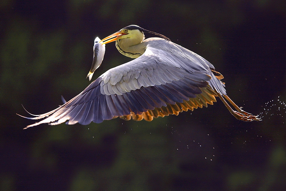 European grey heron (Ardea cinerea) with fish