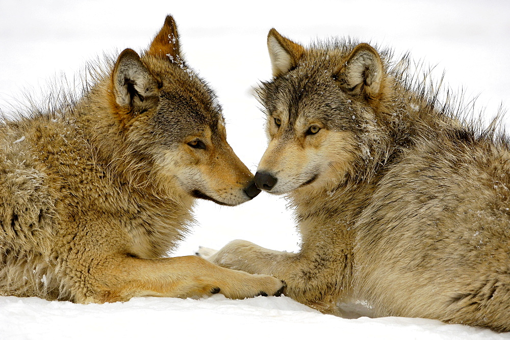 Two young wolfes at play in snow (canis lupus occidentalis)