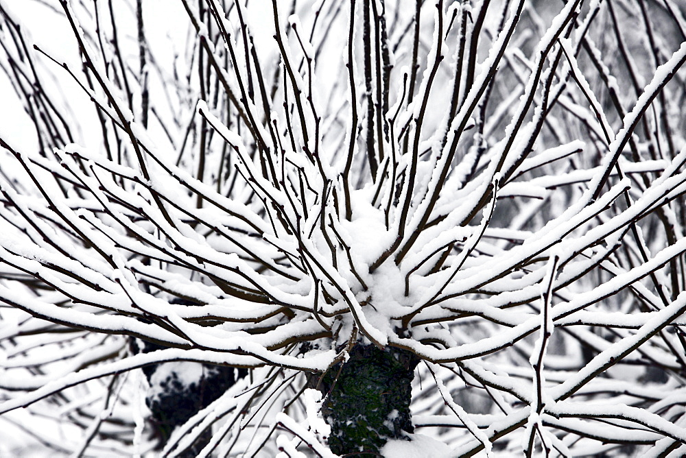 Snow-covered branches of a tree