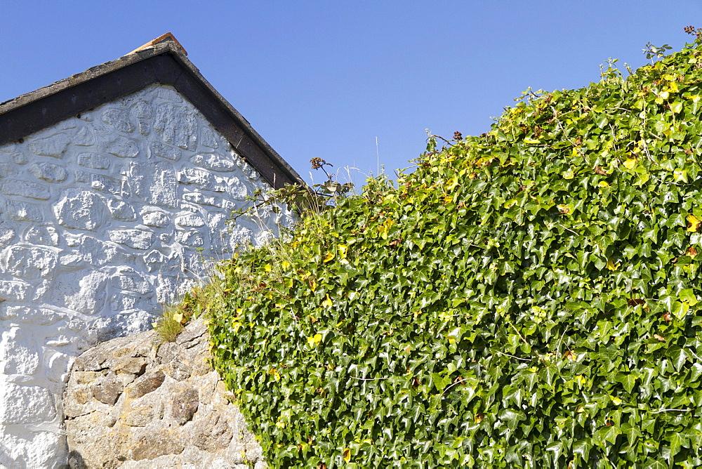 Overgrown stone wall at Cape Cornwall, Cornwall, England, United Kingdom, Europe